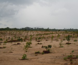 Afforestation of sand tailings in Sierra Leone.jpg